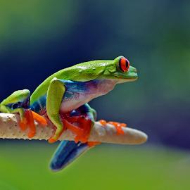 Red eye by Sigit Purnomo - Animals Amphibians (  )