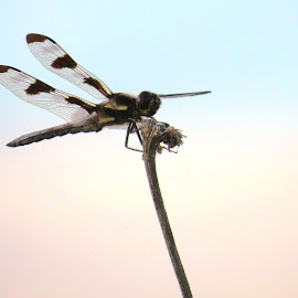 dragonfly by Rita Flohr - Novices Only Wildlife ( widow skimmer, pretty sky, decaying flower, insect, dragonfly )