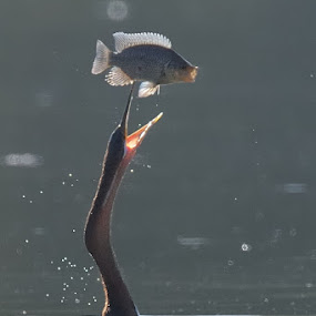 Fish juggler by Tobie Oosthuizen - Animals Birds ( kruger national park, fish, african darter, prey )