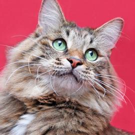 Curious boy by Mia Ikonen - Animals - Cats Portraits ( kurilian bobtail, focused, finland, cute, expressive )