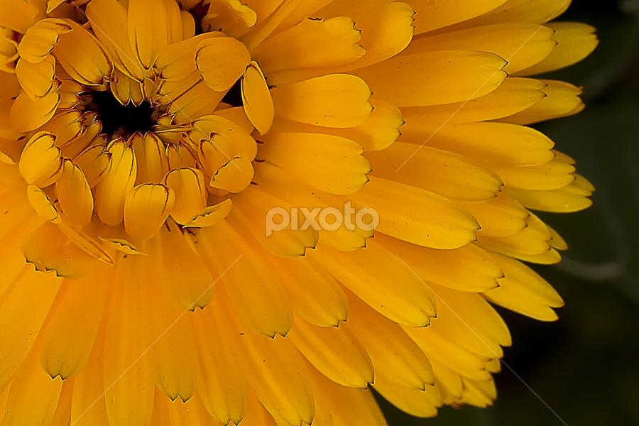 by Bharat Dudeja - Nature Up Close Flowers - 2011-2013 ( pot marigold, calendula, nature, officinalis, flower )