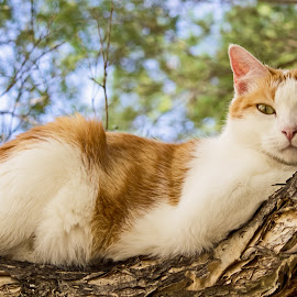 Resting by Deborah Bisley - Animals - Cats Portraits ( cat, lying on branch, yellow eyes, feline, ginger and white )