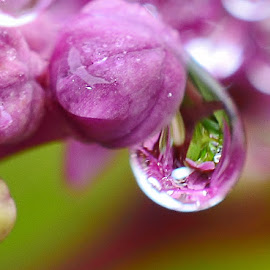 flowery rain drop reflection  by Eloise Rawling - Nature Up Close Natural Waterdrops ( reflection, rain drops, flower )