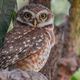 Spotted Owl 🦉 by Suman Basak - Uncategorized All Uncategorized ( nature, colorful, owl, wildlife, prey, raptor, cute, close up, birds, portrait )