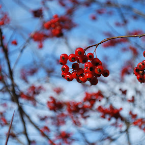 Red Berries Fall by Erin Meisner - Nature Up Close Trees & Bushes ( red berries, fall berry trees, red tree berries, close up berries )