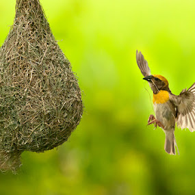 Homecoming by Masood Hussain - Animals Birds ( work, flight, baya weaver, aves, nature, fly, nest, achieve, wildlife, making, birds, construction )