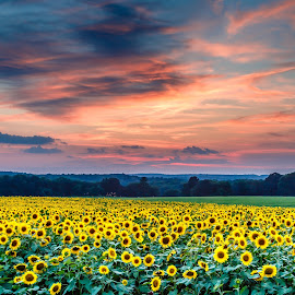 Buttonwood Sunset by David Long - Landscapes Sunsets & Sunrises ( connecticut, sunflowers, buttonwood )