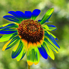Sunflower Photoshopped with Color by Rhonda Schley - Digital Art Things