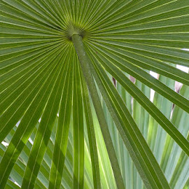 Light through the fronds by Gwen Paton - Nature Up Close Leaves & Grasses ( grass, green, florida, fronds, key west )