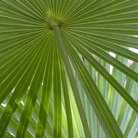Light through the fronds by Gwen Paton - Nature Up Close Leaves & Grasses ( grass, green, florida, fronds, key west,  )