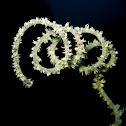 Wire Coral
