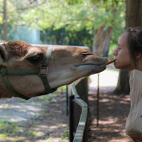 Camel kisses  by Angela Taylor - Animals Other ( camels, hollywild 2014, south carolina, kisses,  )