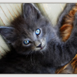 Smitty ~ 7 weeks old by Anna Brown - Animals - Cats Kittens
