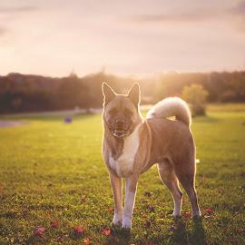 Autumn Sunset by Ali Platt - Animals - Dogs Portraits ( akita, akita inu, autumn, sunset, fall, american akita )