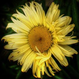 Frilly Edges by Millieanne T - Flowers Single Flower