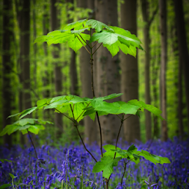Hallerbos: an ancient forest with young trees and bluebells by Radijsje VC - Nature Up Close Trees & Bushes ( hallerbos, bleu, forest, hyacinth, anemones )