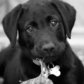 B&W Pup by Chrissie Barrow - Black & White Animals ( toy, pet, fur, ears, puppy, labrador, dog, nose, black, portrait, eyes, animal )
