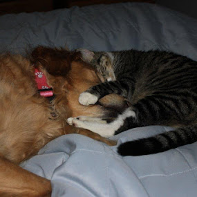 Callie and Lewie  by Andy Marquez - Animals - Cats Kittens ( callie, lewie, loving, sleeping, together )