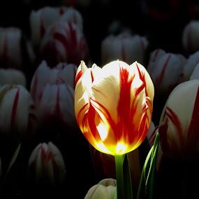 Lights up  by Pamela Zeng - Flowers Flower Gardens