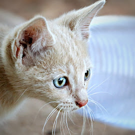 The Curious One.... by Pieter J de Villiers - Animals - Cats Kittens