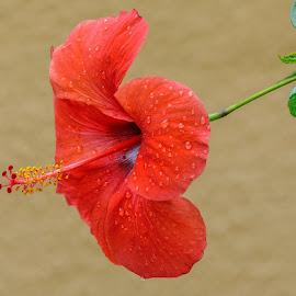 by Veli Toluay - Flowers Tree Blossoms ( çiçek, ağaççiçek, yaz, natural, bahar, kırmızı, güzellik )