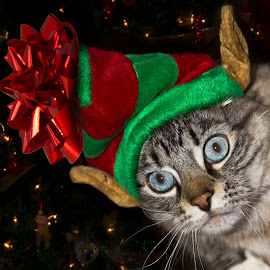 In the Spirit by Dave Lipchen - Animals - Cats Portraits ( holiday, cat, blue eyes, elf hat,  )