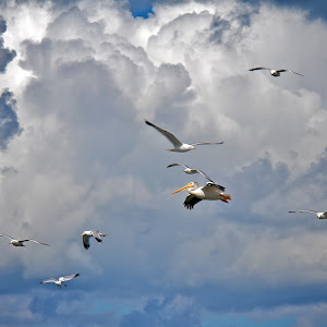 Pelicans and Gulls.jpg