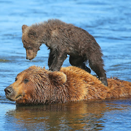 Going Surfin by Anthony Goldman - Animals Other Mammals ( water, bear, wild, alaskan, sow, spring cub, wildlife, brown )