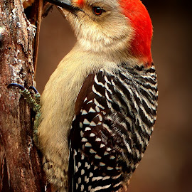 Red Bellied Woodpecker  by Paul Mays - Animals Birds