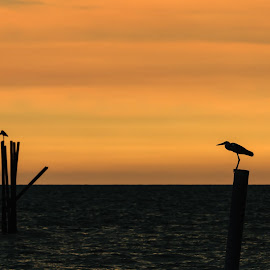 Bird by Eddie Leong - Landscapes Sunsets & Sunrises ( wild, silhouette, wildlife, sea, beach, landscape, bird, sky, nature, sunset, outdoor, summer, scene, cloud, animal )