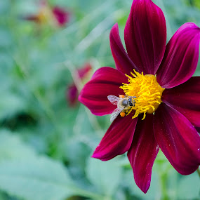 bee by Cretu Stefan Daniel - Nature Up Close Flowers - 2011-2013 ( wild, bee, colors, yelow, flowers )