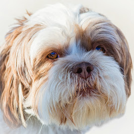 Pete by Dave Lipchen - Animals - Dogs Portraits ( pete, shih tzu )