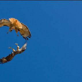 Dancing by John M. Larson - Animals Birds ( flight, red tailed hawk, action, mate, birds, hawk, , bird, fly )