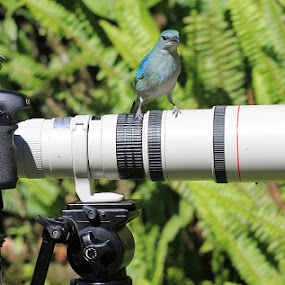 Tangara cyanoptera and friends!! by Itamar Campos - Animals Birds ( coereba flaveola, tangara cyanoptera, dacnis cayana ( female), violaceous euphonia )