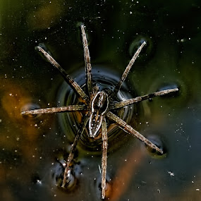 Water Spider by Steve BB - Animals Insects & Spiders ( hairy, water, huge, macro, spider, legs, closeup )
