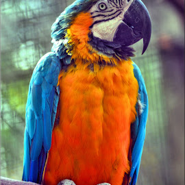 macaw on its perch by Nic Scott - Animals Birds ( bird, perched, blue and yellow, parrot, macaw )
