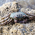 Mottled Lightfoot Crab
