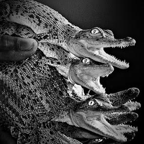 by Rudi Yanto - Animals Reptiles