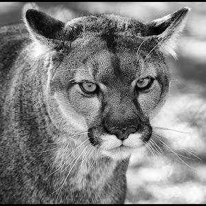 Mountain Lion-4.jpg