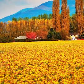 yellow fields  by Lavonne Ripley - Landscapes Prairies, Meadows & Fields
