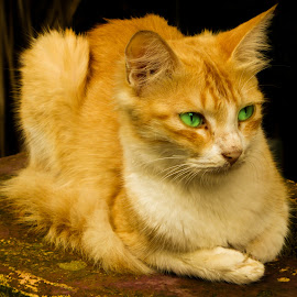 Staring 2 by Chiranjib Nandi Mazumder - Animals - Cats Portraits ( cat, sitting, cat eyes, cat portrait, green eyes )