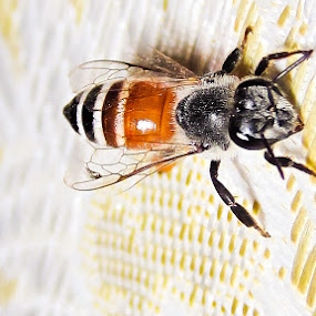 Honey Bee by Aamir Soomro - Animals Insects & Spiders ( animals, apis, fly, bee, insect, honey,  )