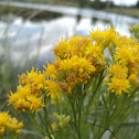 Flat-Topped Goldenrod