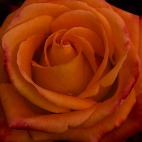 Red and Yellow Rose by Lian van den Heever - Flowers Single Flower ( rose, red, single, petals, yellow,  )