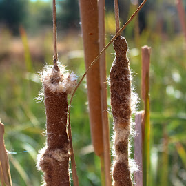 Cattails by Scott Thomas - Nature Up Close Other plants ( #landscape, #plant, #nature, #water, #cattails )