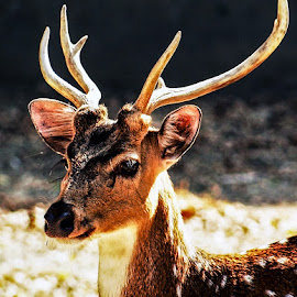 deer #3 by Mohsin Raza - Animals Other