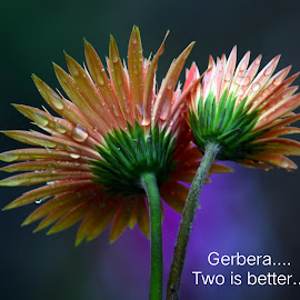 Gerbera...  by Asif Bora - Typography Quotes & Sentences
