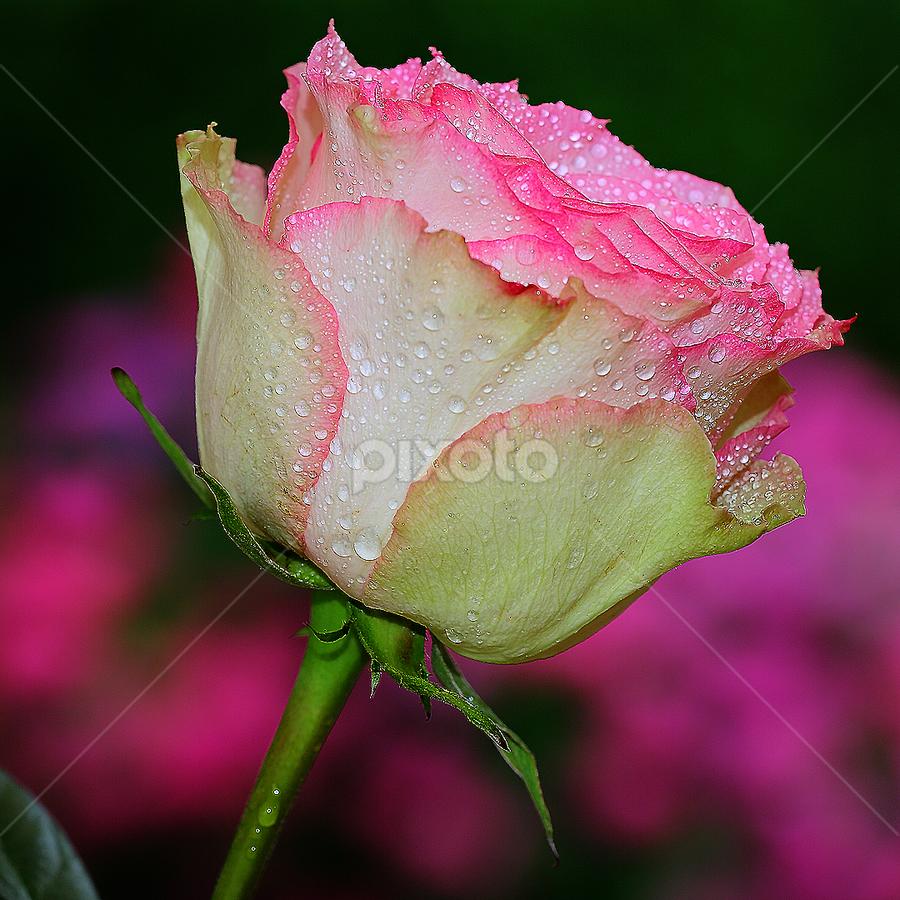 Une rose après la pluie by Gérard CHATENET - Flowers Single Flower (  )
