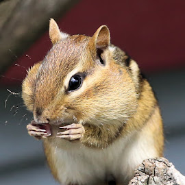 Sunday's Best 22 by Terry Saxby - Animals Other Mammals ( canada, terry, chipmunk, goderich, ontario, saxby, nancy )