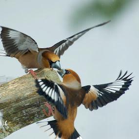 Stenknäck by Michael Pelz - Animals Birds